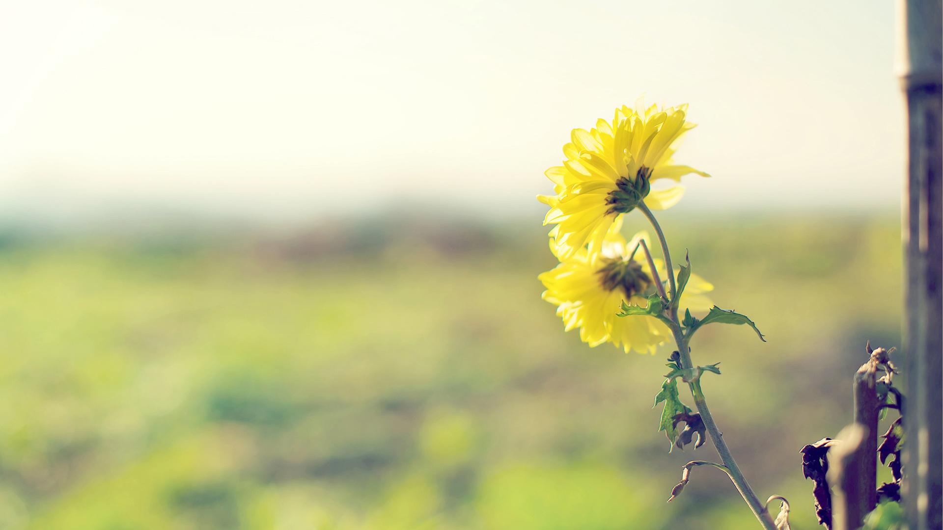 hình ảnh hoa cúc