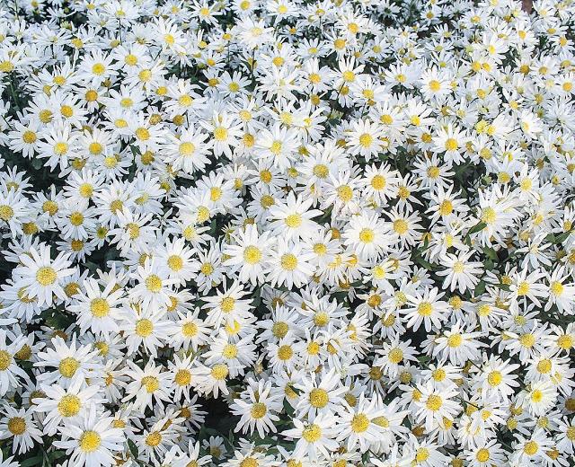 hinh nen hoa cuc dep
