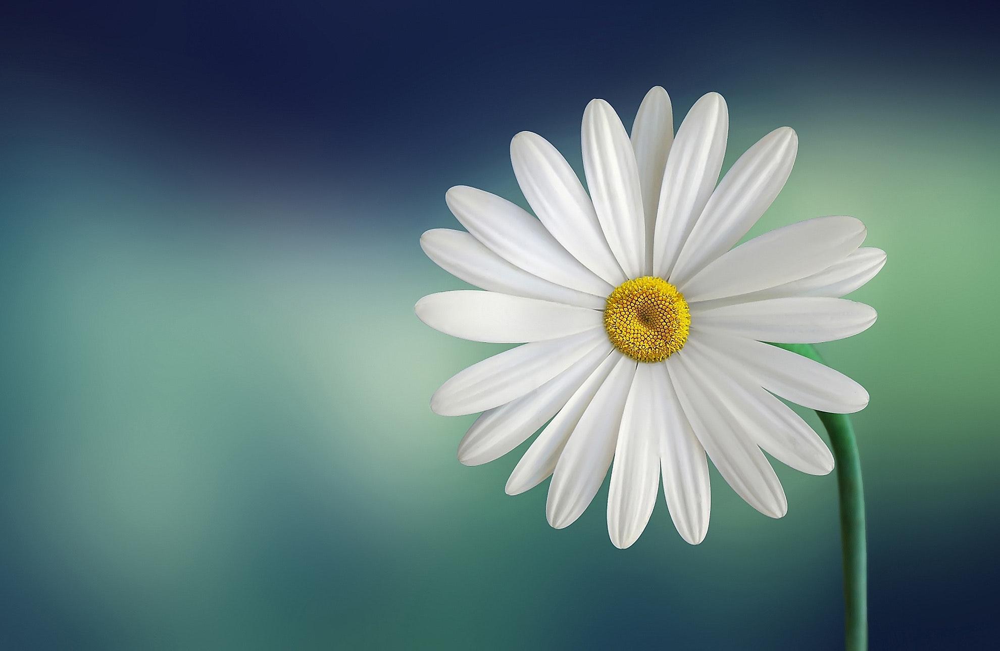 hinh anh hoa cuc vang
