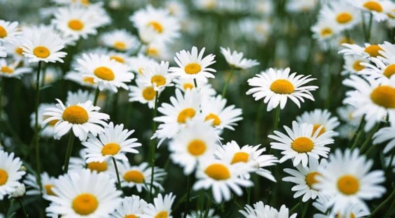 hoa cúc đẹp