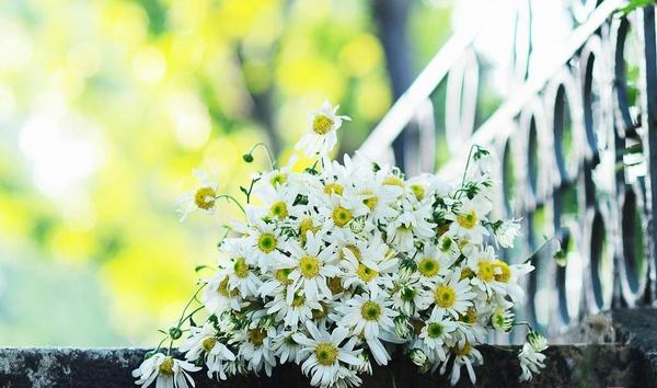 ảnh hoa cúc trắng