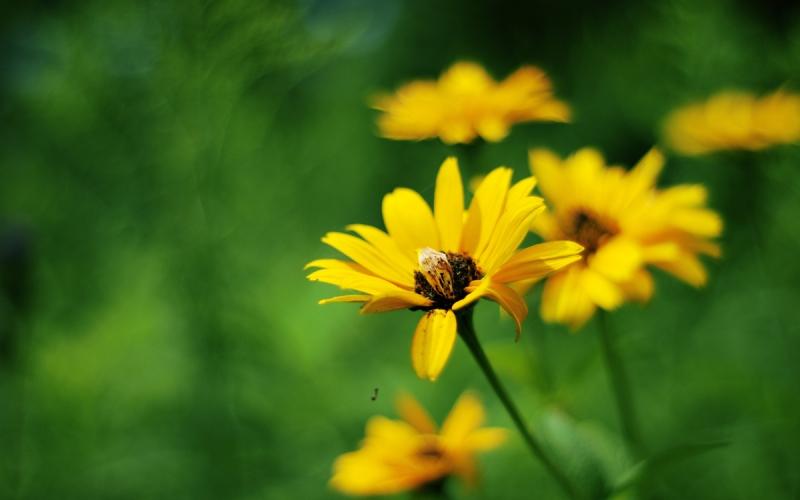 ảnh hoa cúc vàng đẹp