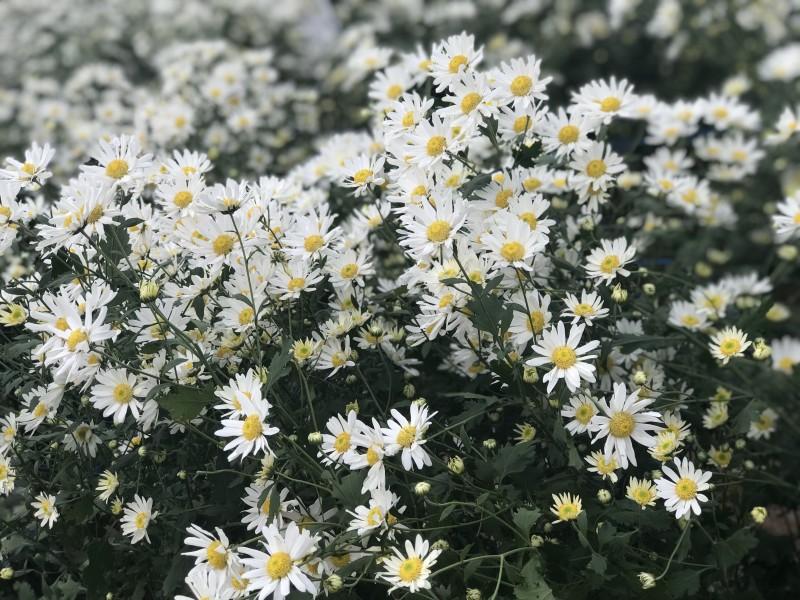 hình hoa cúc