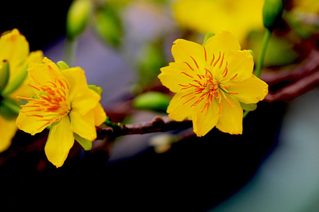 hình ảnh cây hoa mai