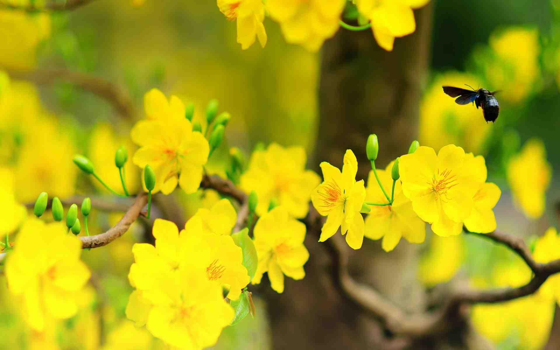 hình ảnh hoa mai
