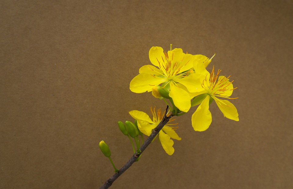 cách vẽ hoa mai 5 cánh