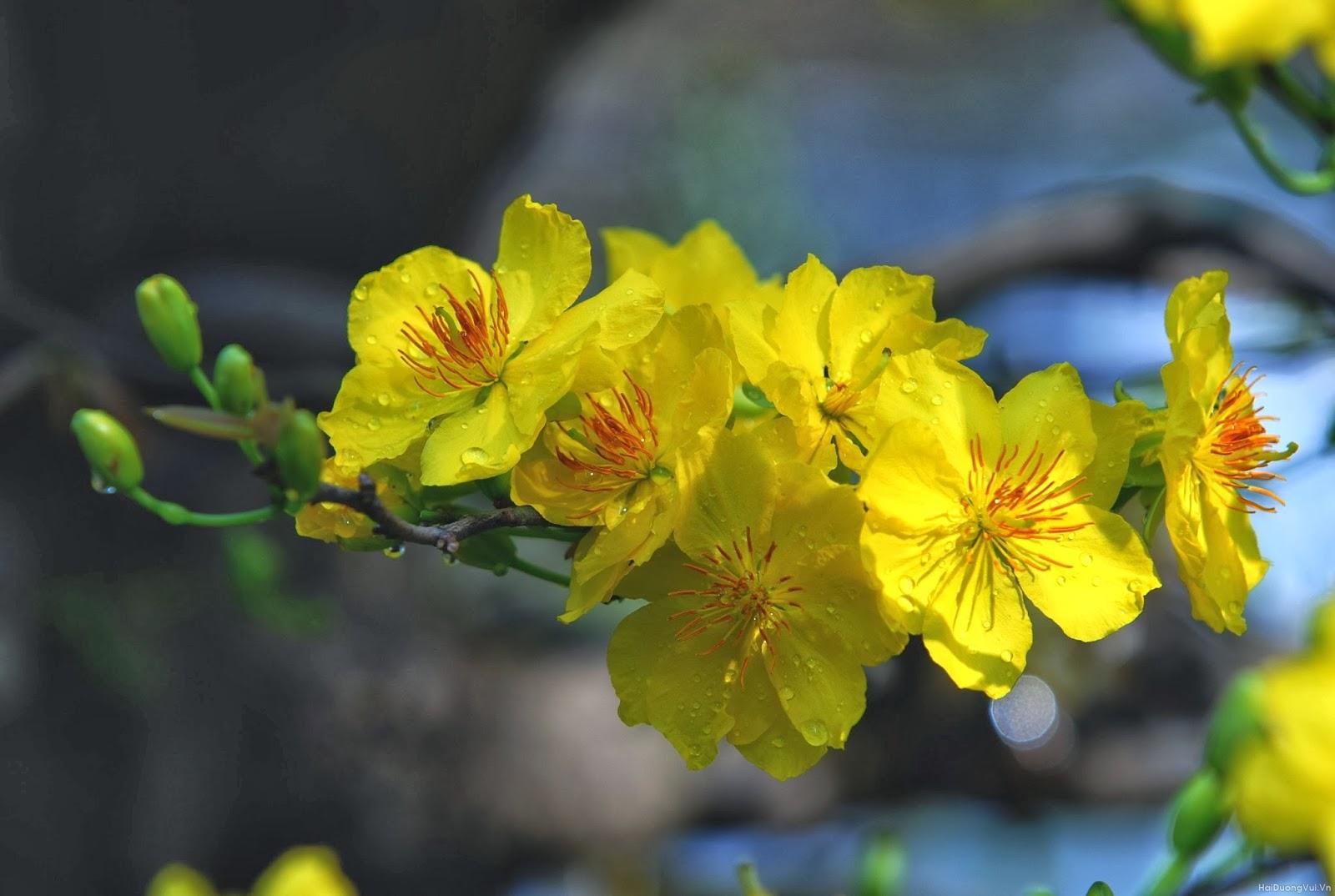 hoa mai vẽ