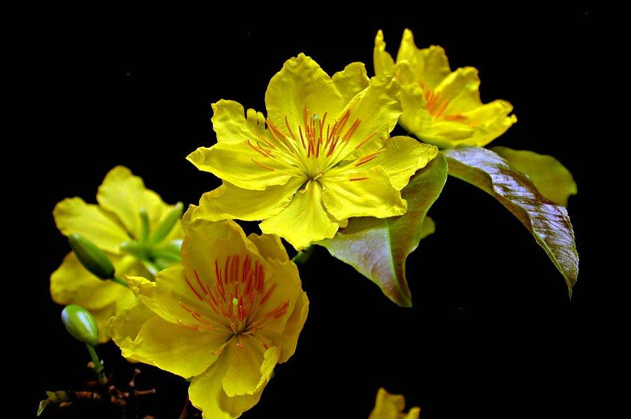 hinh hoa mai ngay tet