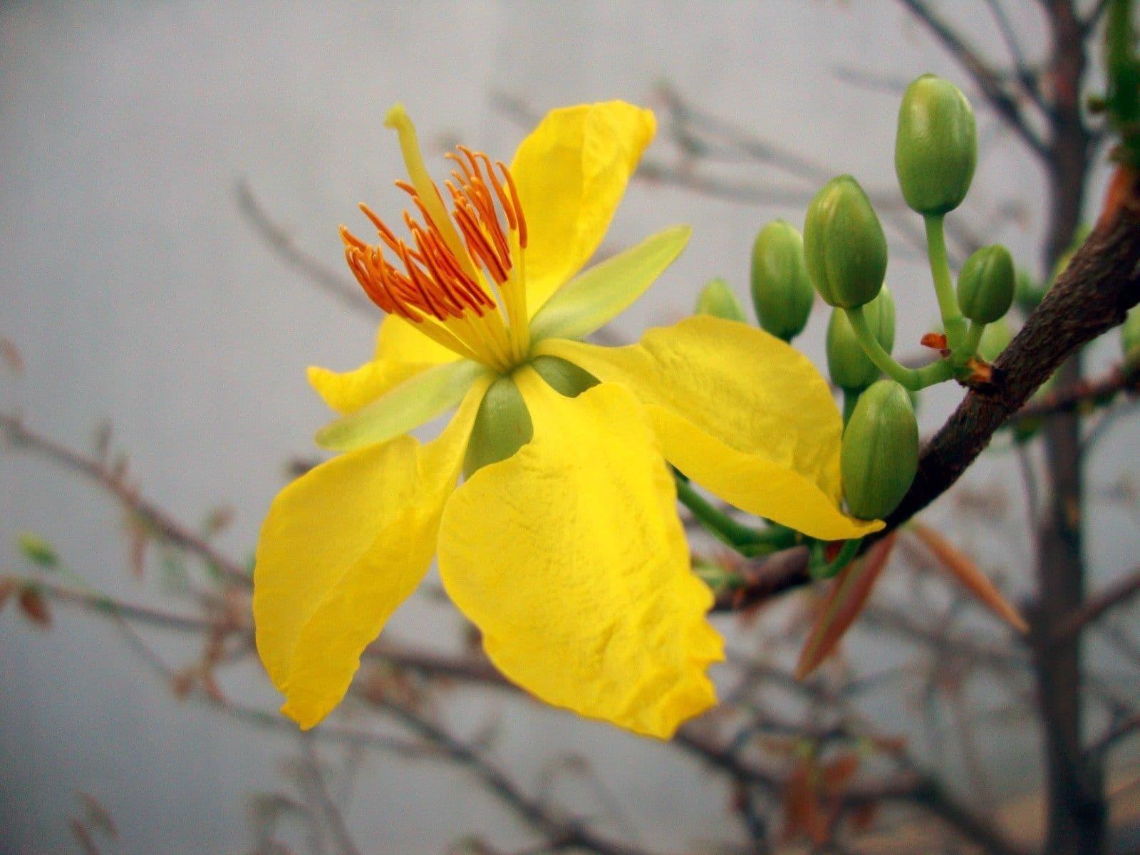 hình ảnh hoa mai đẹp