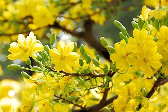 hoa mai trắng miền nam