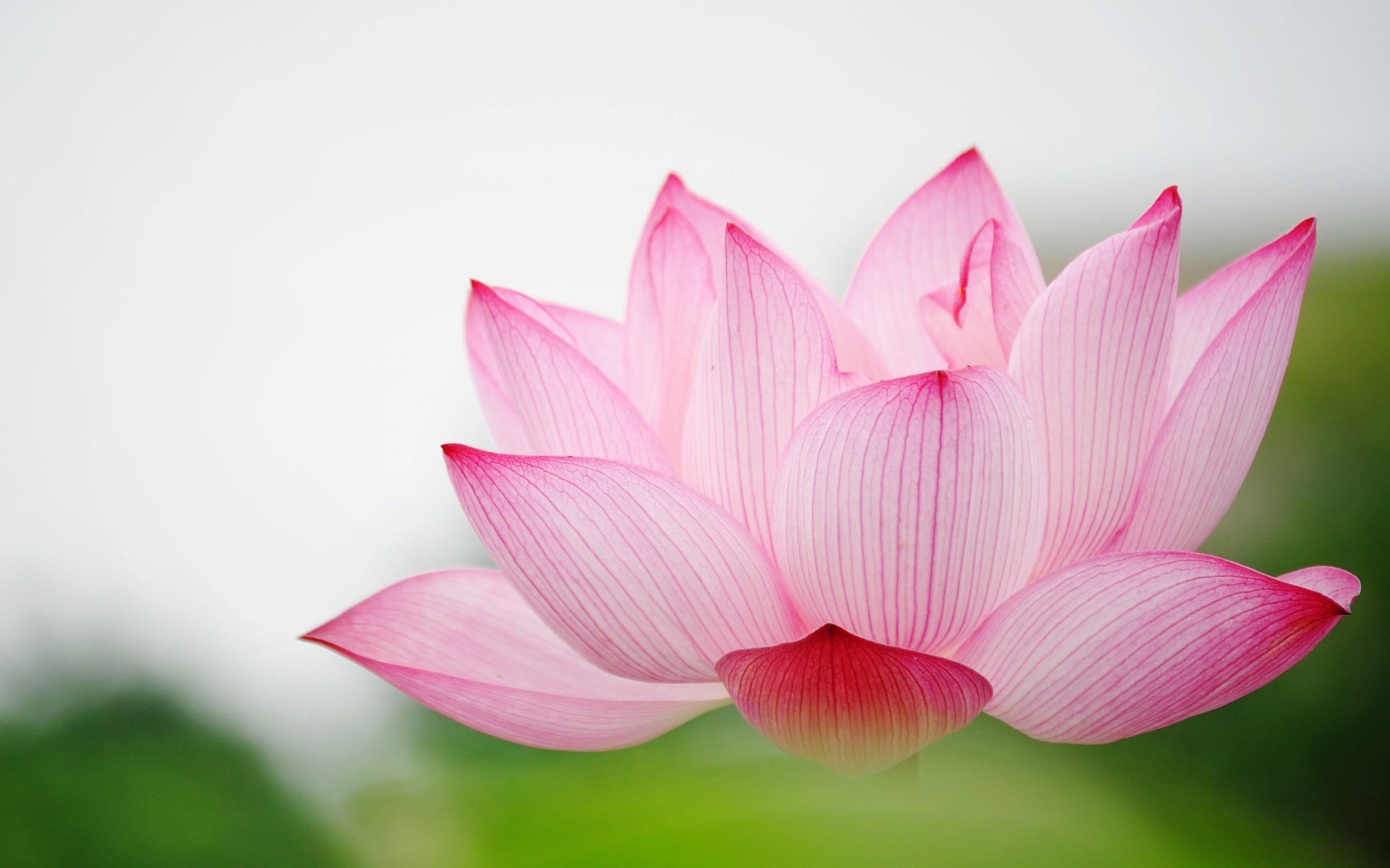 tải hình nền hoa sen