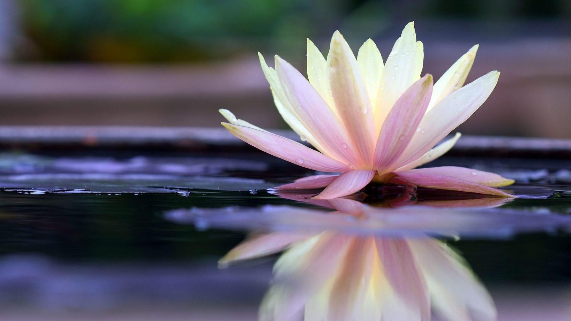 hình nền hoa sen thư pháp