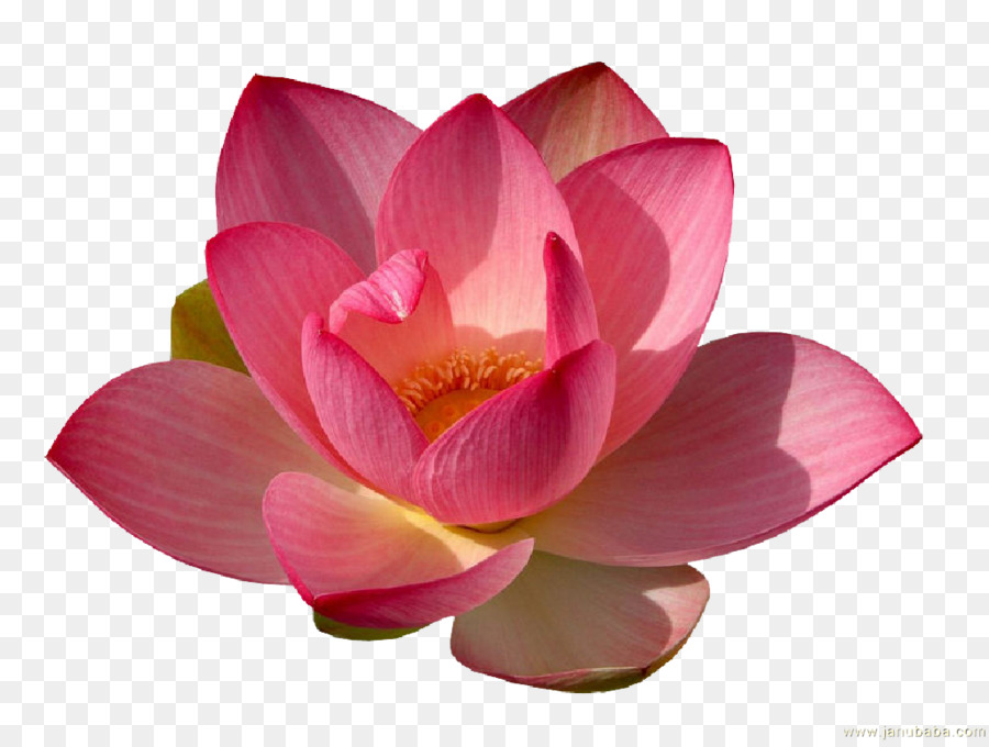 hình nền dt hoa sen