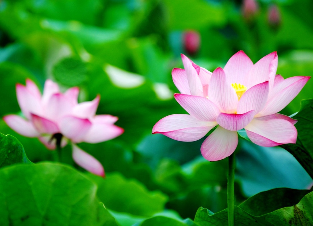 hình nền hoa sen cho ipad
