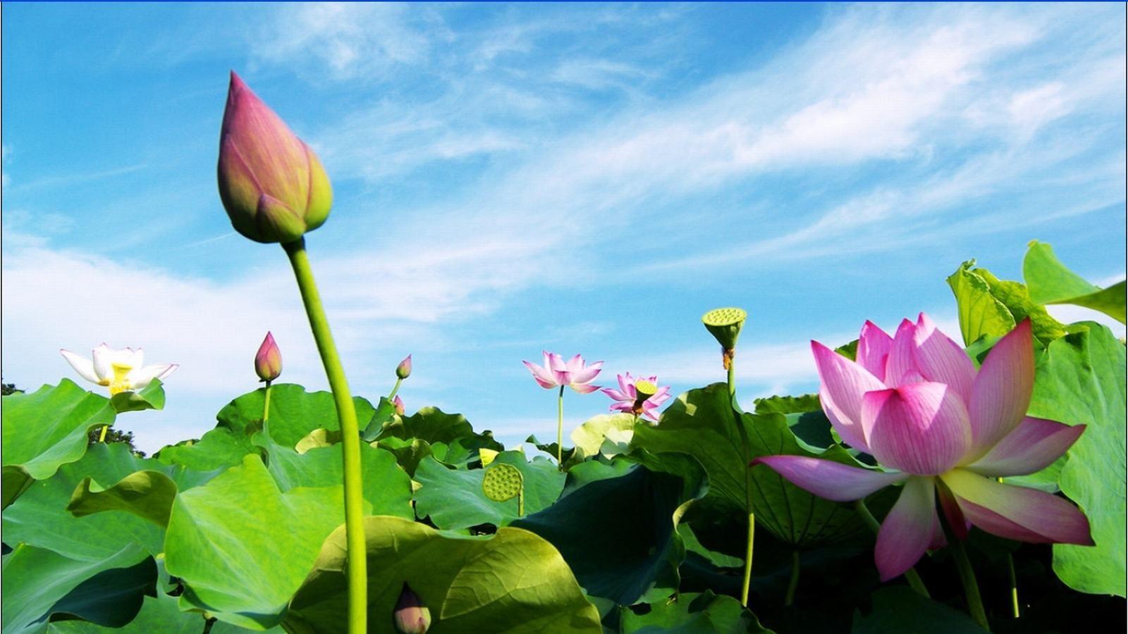 ảnh hoa sen đẹp làm hình nền