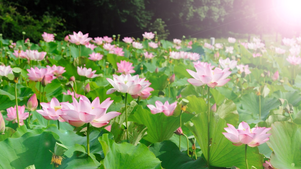hình nền hoa sen xanh