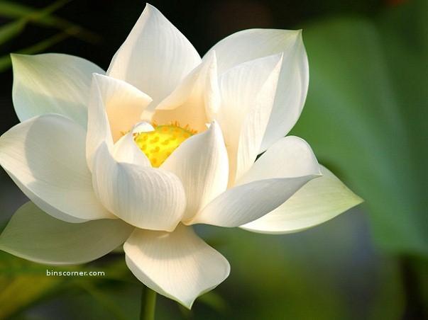 hình nền hoa sen tím